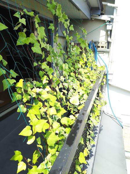 緑のカーテン・プロジェクト 2016